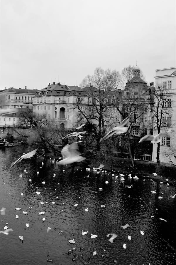 Mouettes et cygnes au-dessus de la rivière de Vltava à vieux Prague en hiver images stock