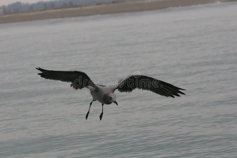 Mouettes grises volant au-dessus de l'océan photo stock