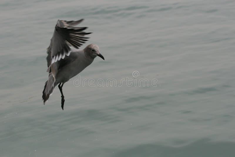 Mouettes grises volant au-dessus de l'océan photographie stock