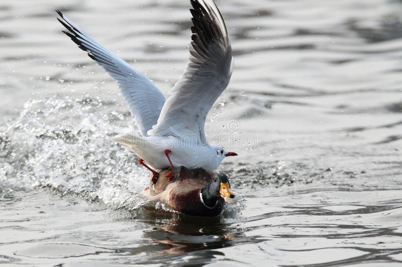 Mouettes luttant pour la nourriture avec un canard CMA de canard photo stock