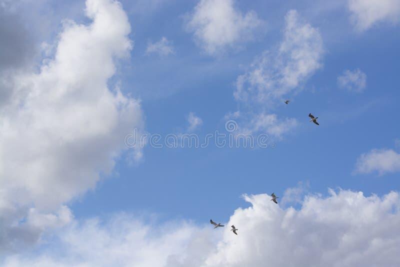 Mouettes pilotant des frais généraux contre les cieux nuageux et bleus photos stock