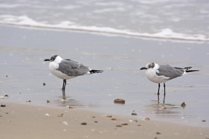 Mouettes riantes adultes non reproductrices sur le rivage images stock