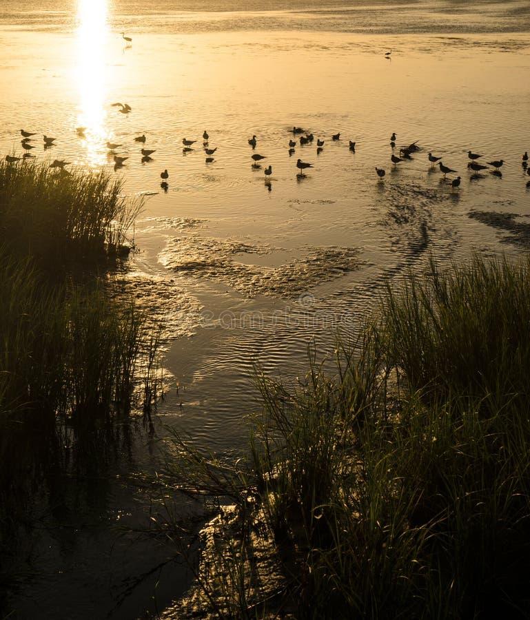 Mouettes se baignant dans le coucher du soleil de Laguna Madre photos stock