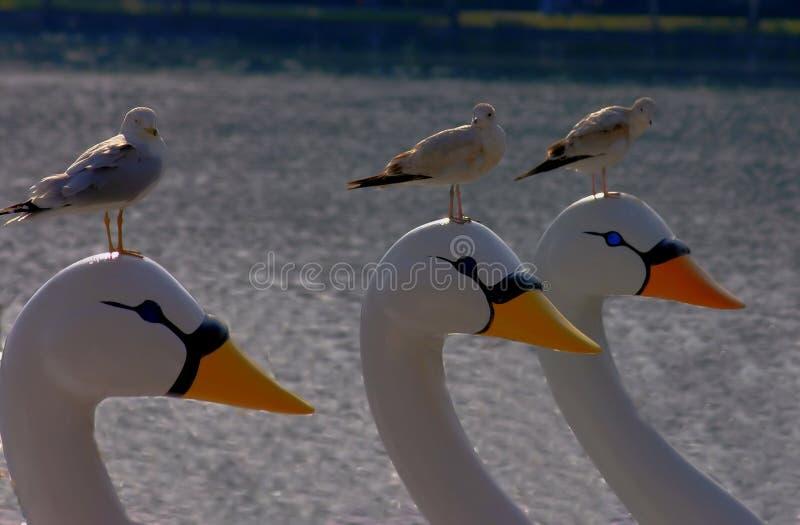Mouettes se reposant sur des bateaux de cygne image libre de droits