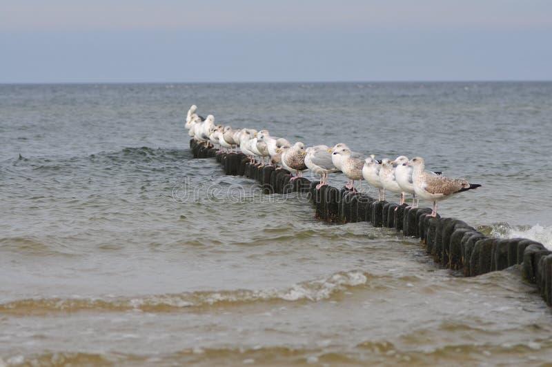 Mouettes se tenant dans une rangée sur les poteaux du brise-lames image stock