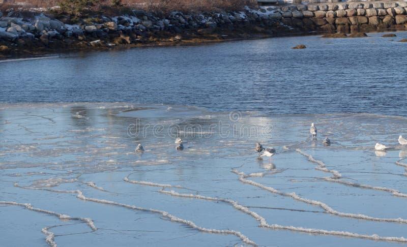 Mouettes sur l'Océan Atlantique, Nova Scotia photos stock