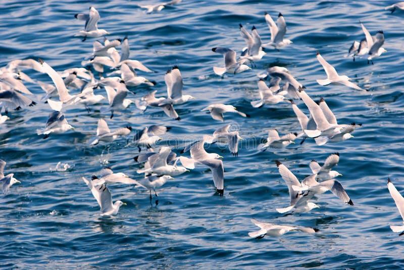Mouettes sur la mer de bhe photographie stock libre de droits