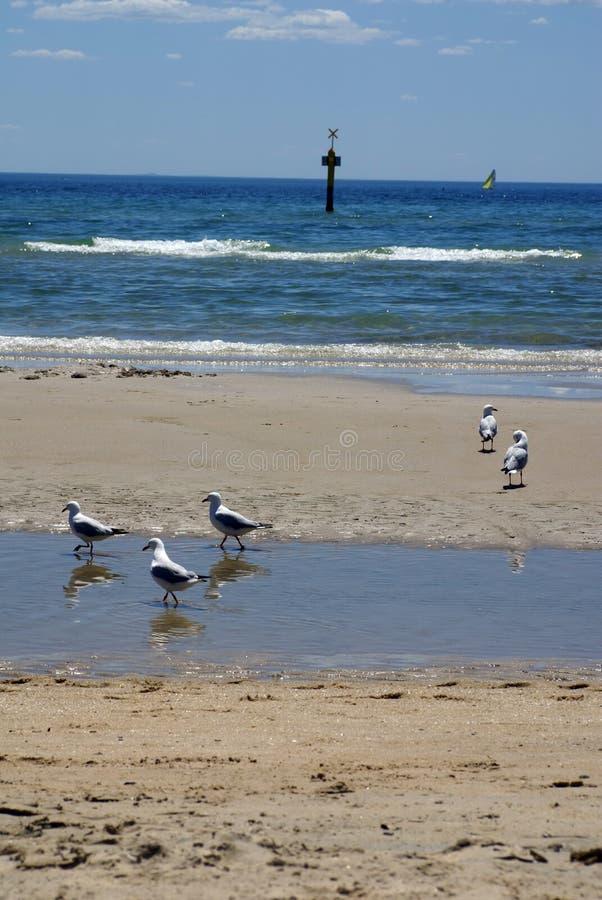 Mouettes sur la plage dans Frankston photo libre de droits