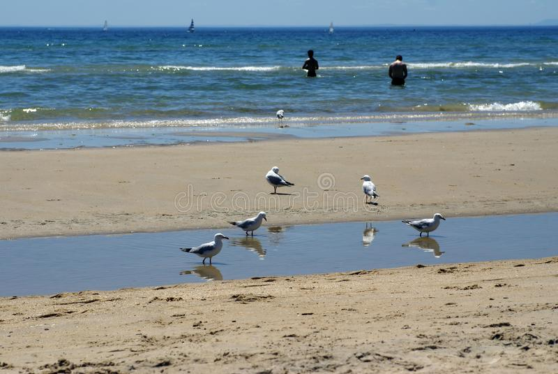 Mouettes sur la plage dans Frankston photos libres de droits
