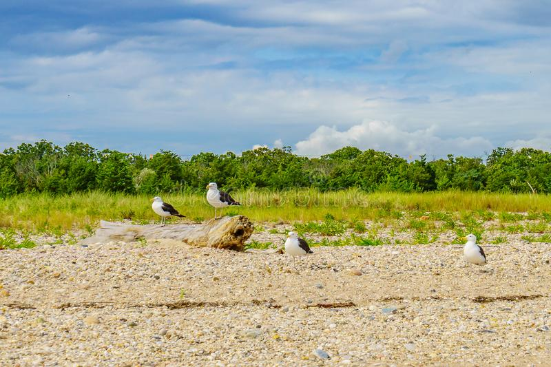 Mouettes sur la plage de l'Orient, Long Island photo stock