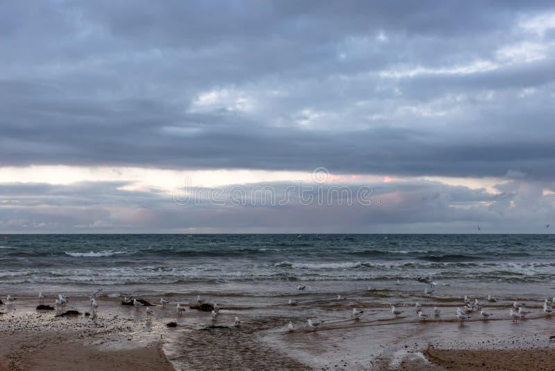 Mouettes sur une plage dans Ulverstone Tasmanie images stock