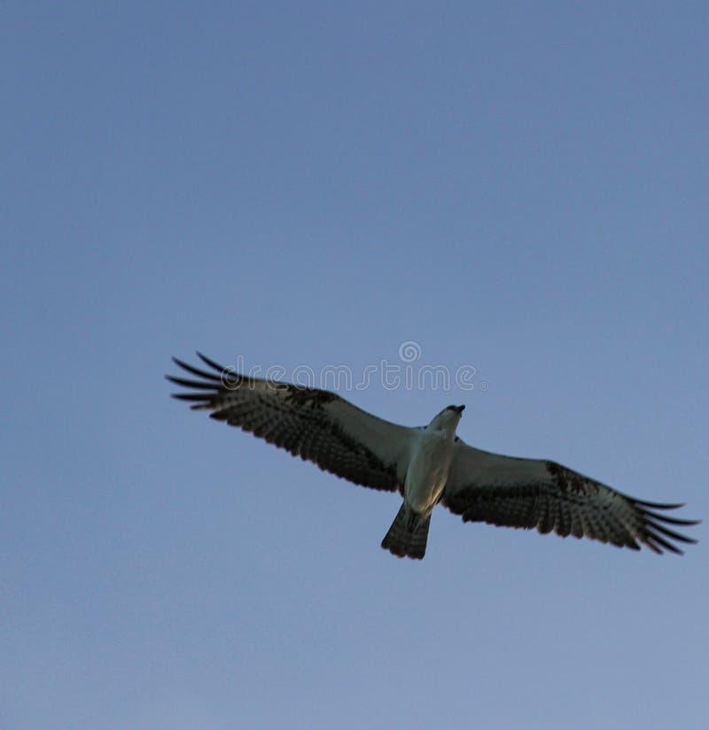 Mouettes volant au ciel photo stock