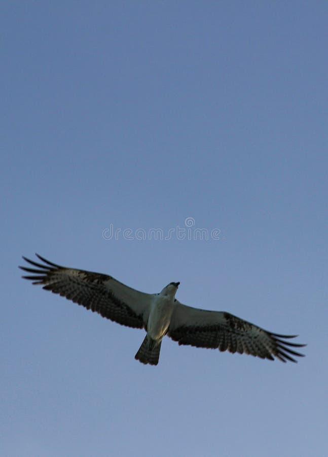 Mouettes volant au ciel image libre de droits