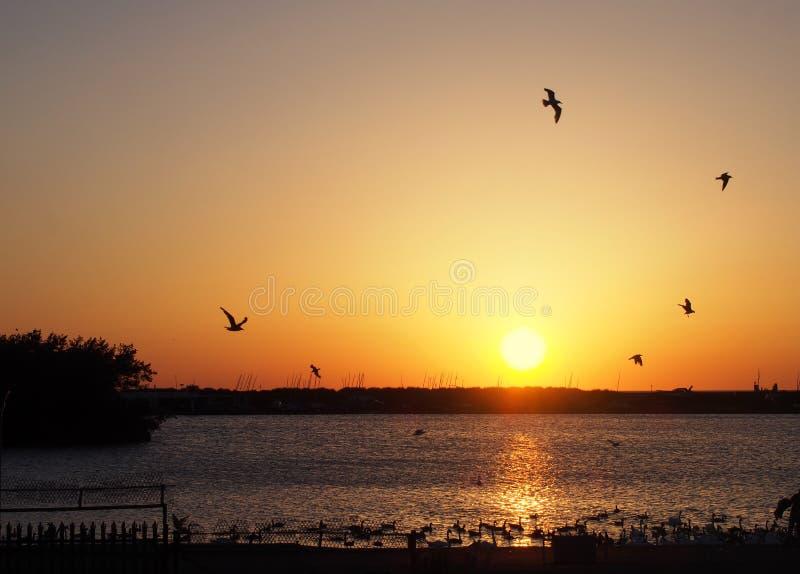 Mouettes volant au-dessus d'un coucher du soleil d'or réfléchissant sur la surface d'un lac avec les oies et les cygnes de natati photos libres de droits