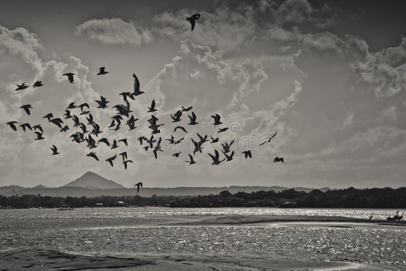 Mouettes volant au-dessus de la rivière de noosa photos libres de droits