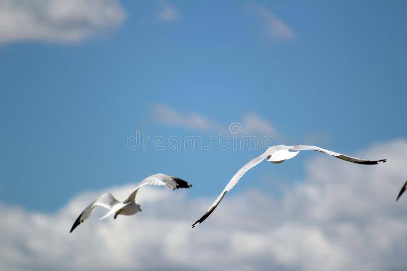Mouettes volant en ciel bleu photo stock