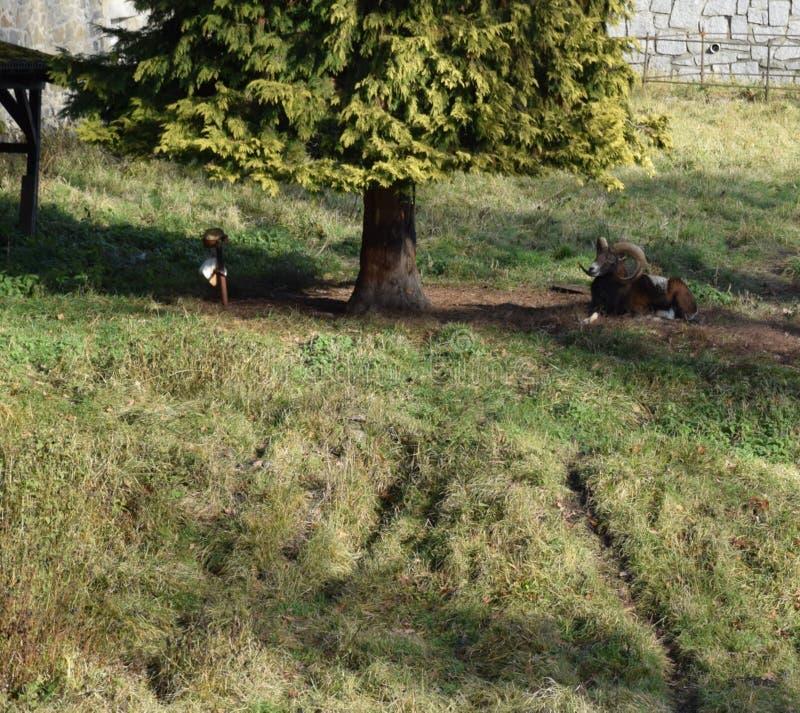 Moufflon стоковые фото