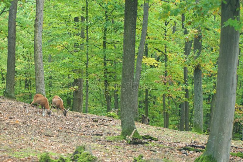 Moufflon couple goat in calm atmosphere in autumn forest. In countryside royalty free stock images