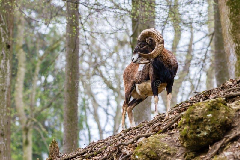 Moufflon, floresta foto de stock royalty free