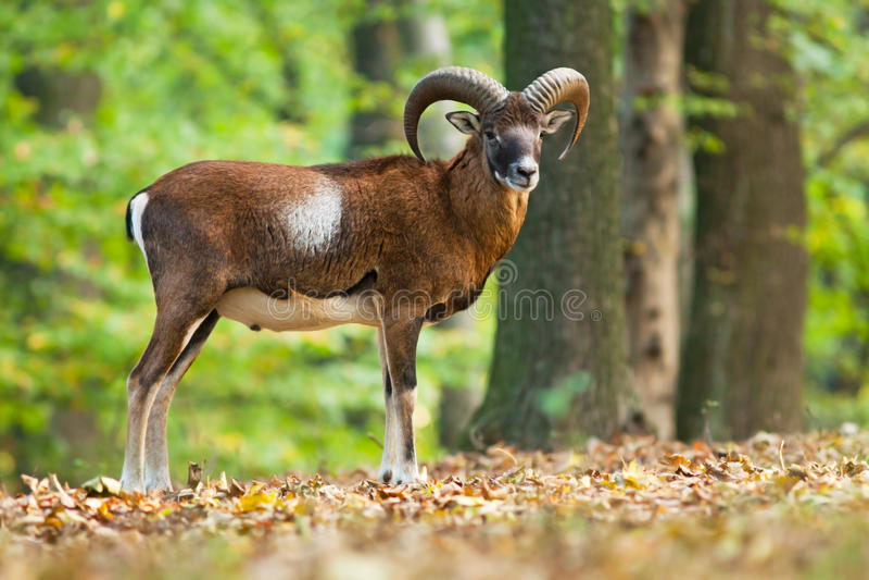 Moufflon masculino na floresta fotografia de stock royalty free