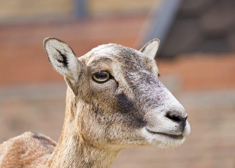 Moufflon (Ovis musimon) - wijfje royalty-vrije stock afbeelding