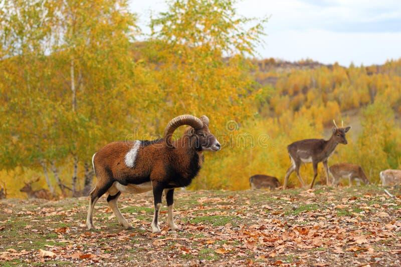 Mouflon男性和休耕deers 库存照片