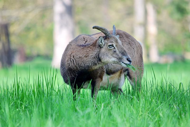 Mouflon羊属白羊星座吃草特写镜头的Musimon 免版税库存照片