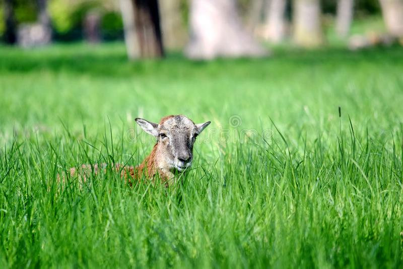 Mouflon羊属白羊星座在草的Musimon 免版税库存图片