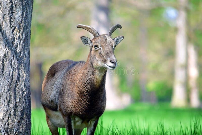 Mouflon羊属白羊星座Musimon特写镜头 免版税库存图片