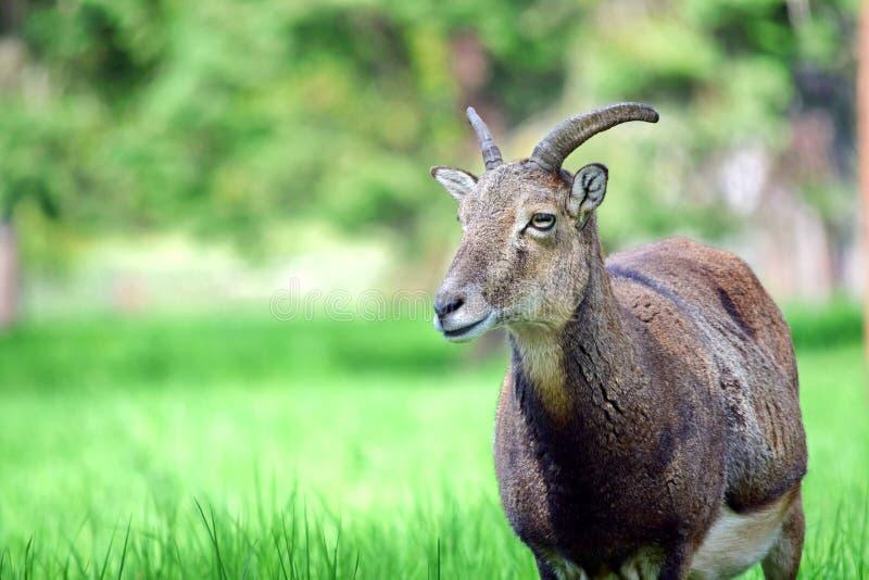 Mouflon羊属白羊星座Musimon特写镜头 免版税库存照片