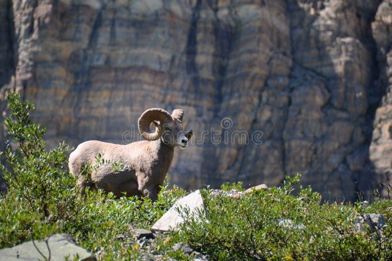 Mouflon,如在冰川国家公园中看到的野生生物,蒙大拿,美国 免版税库存照片