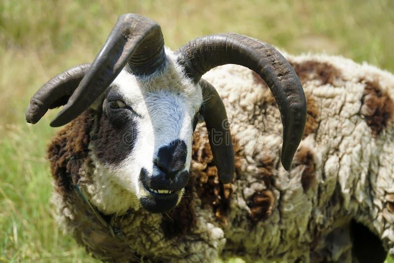 Mouflon à quatre cornes dans le village photographie stock libre de droits