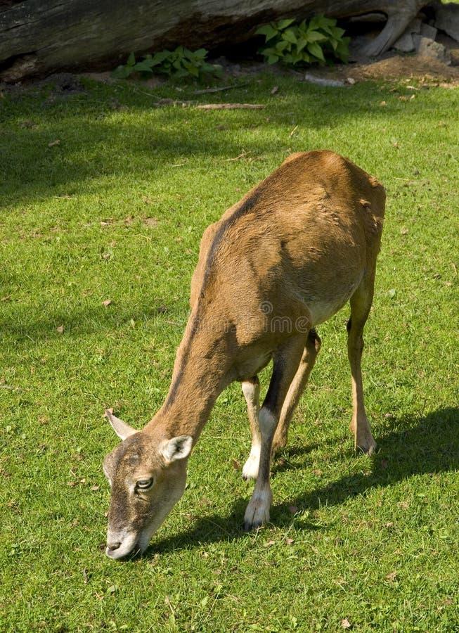 mouflon στοκ φωτογραφίες με δικαίωμα ελεύθερης χρήσης