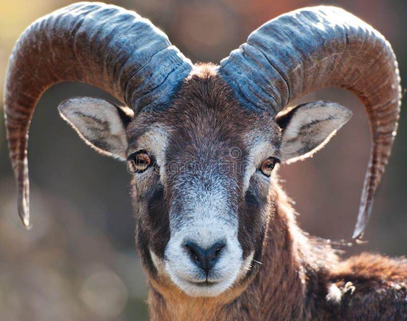 Mouflon στοκ φωτογραφία