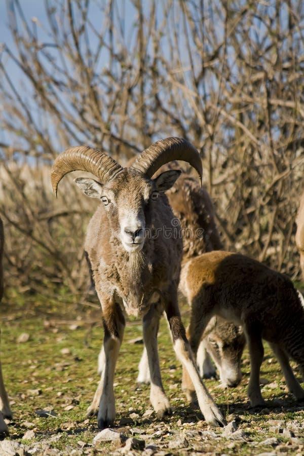 mouflon στοκ εικόνα
