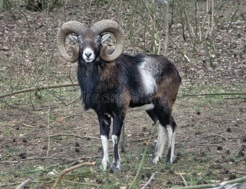 Mouflon stockfoto