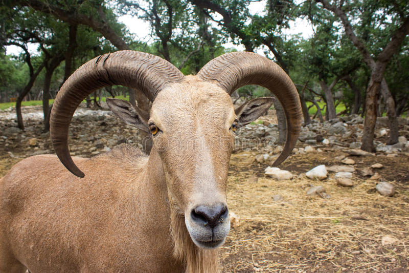 Mouflon adulte photos stock