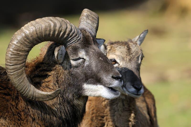 Mouflon, aries del ovis immagini stock