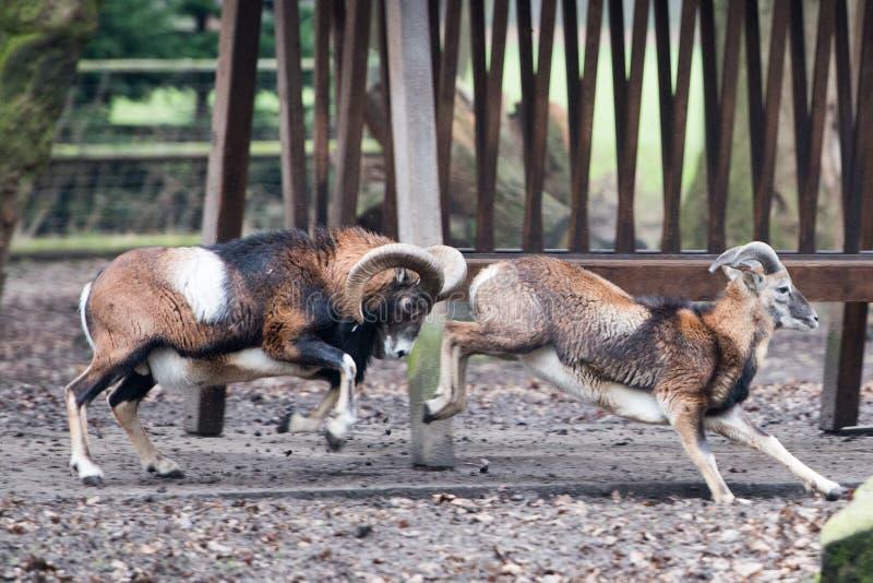 Mouflon bei der Aufladung lizenzfreie stockbilder