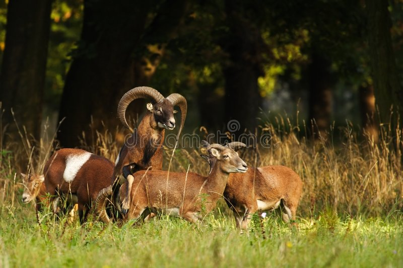Download Mouflon buck stock image. Image of meadow, grass, buck - 3224859