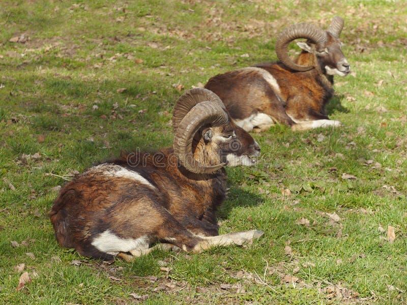 Mouflon dos ciervos imágenes de archivo libres de regalías
