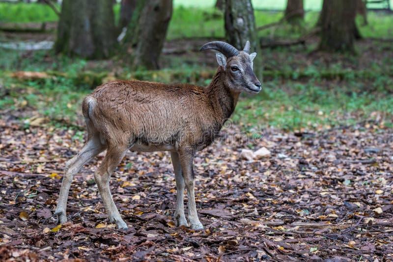 Mouflon europ?en, musimon d'orientalis d'Ovis Animal de faune image libre de droits