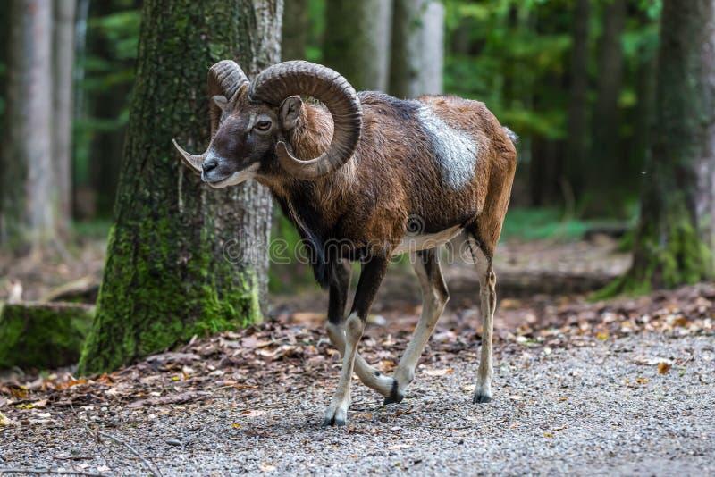 Mouflon europ?en, musimon d'orientalis d'Ovis Animal de faune photos libres de droits
