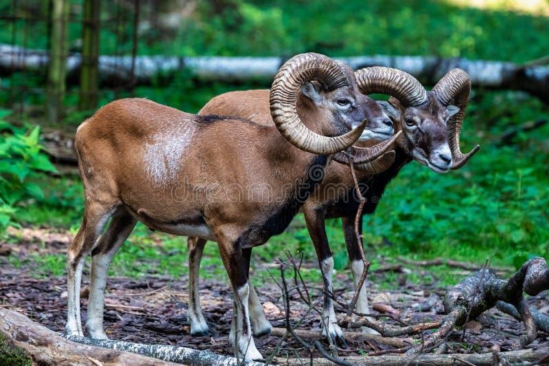 Mouflon europ?en, musimon d'orientalis d'Ovis Animal de faune images libres de droits