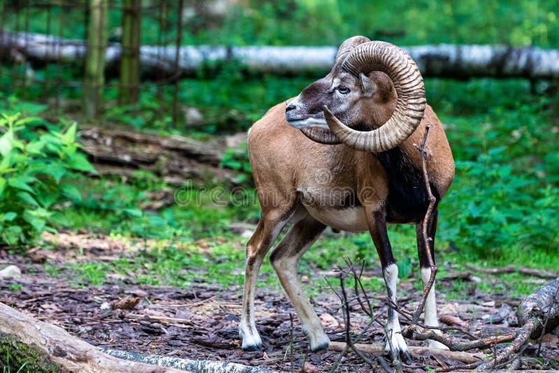 Mouflon europ?en, musimon d'orientalis d'Ovis Animal de faune photos stock