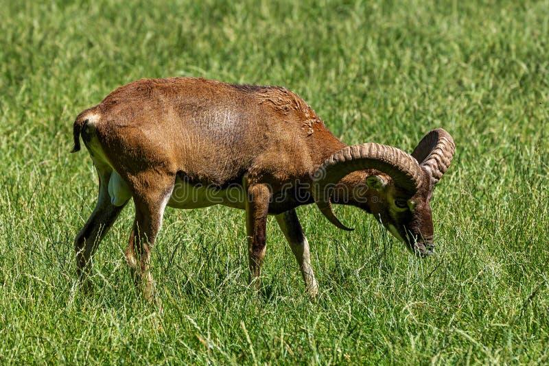Mouflon europ?en, musimon d'orientalis d'Ovis Animal de faune photographie stock libre de droits