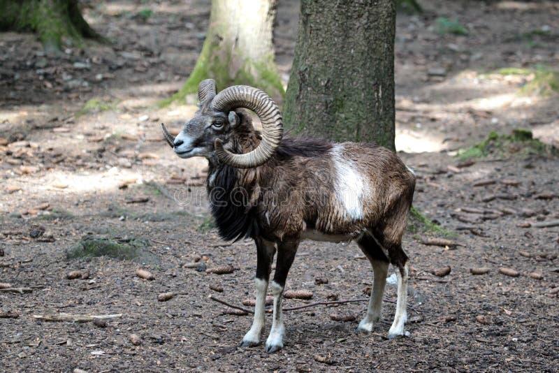 Mouflon europeo, musimon de los orientalis del Ovis Animal de la fauna fotografía de archivo libre de regalías