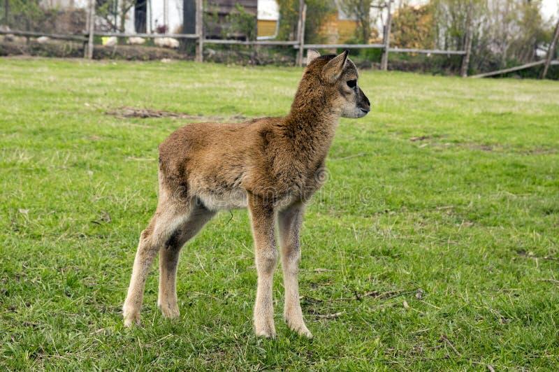Mouflon europeu do bebê na grama fotografia de stock