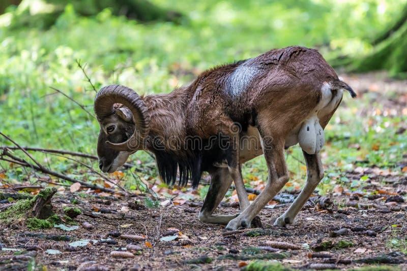Mouflon europeu, musimon dos orientalis do Ovis Animal dos animais selvagens foto de stock royalty free