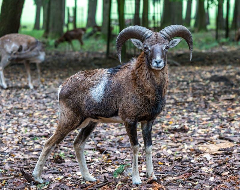 Mouflon europeu, musimon dos orientalis do Ovis Animal dos animais selvagens fotos de stock